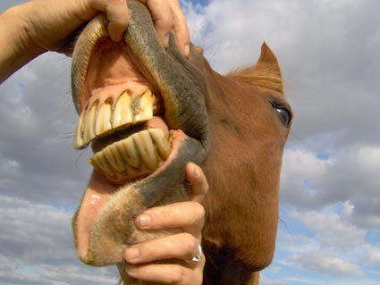 Equine Dentist: . . . nearly there!